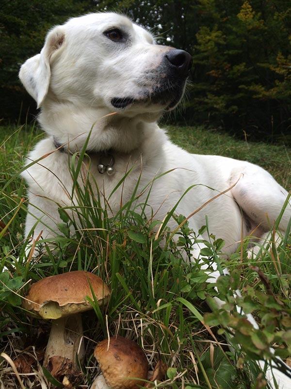 Un cane... da funghi
